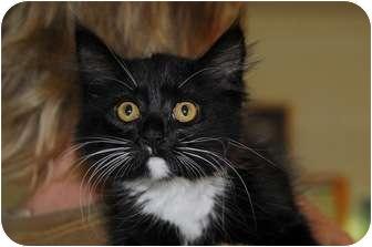 Domestic Mediumhair Kitten for adoption in Monroe, Georgia - Leala