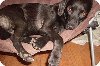 Labrador Retriever/Terrier (Unknown Type, Small) Mix Dog for adoption in Foster, Rhode Island - Stevie