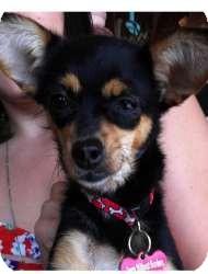 Chihuahua Mix Dog for adoption in Encino, California - Fiesta - 3lbs