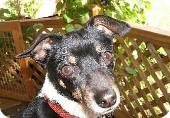 Rat Terrier Mix Dog for adoption in Chesterville, Ohio - Oreo