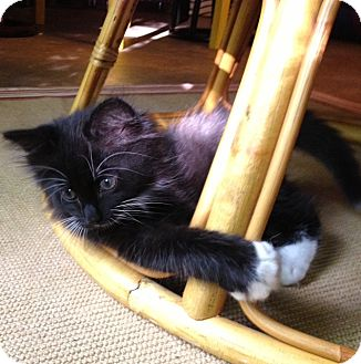 Domestic Shorthair Kitten for adoption in Homewood, Alabama - Clover