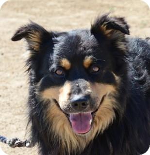 Bear | Adopted Dog | Gardnerville, NV | Australian ...Australian Shepherd Rottweiler Mix Information