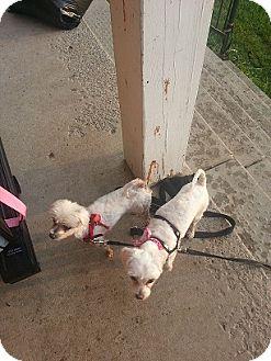 Maltese Dog for adoption in Treton, Ontario - Channel /Nemo