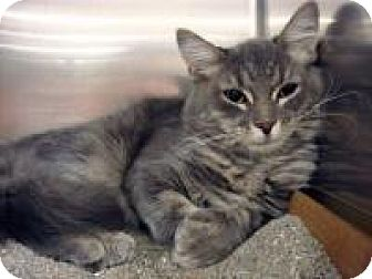 Maine Coon Cat for adoption in East Brunswick, New Jersey - Coal