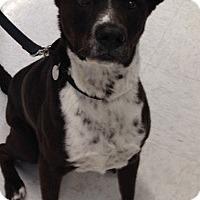 Adopt A Pet :: Kora - Gilbert, AZ