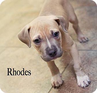Terrier (Unknown Type, Small) Mix Puppy for adoption in West Des Moines, Iowa - Rhodes