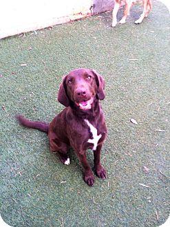Labrador Retriever Mix Dog for adoption in Cumming, Georgia - Lucy