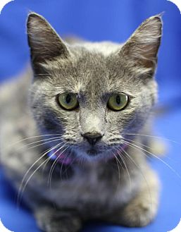 Domestic Shorthair Cat for adoption in Winston-Salem, North Carolina - Audi