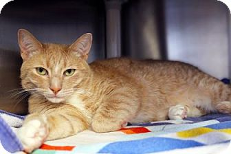 Domestic Shorthair Cat for adoption in Bellevue, Washington - Skip