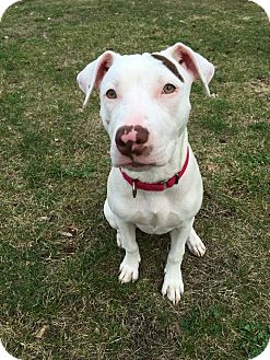 American Pit Bull Terrier Mix Dog for adoption in Colebrook, Connecticut - Denali