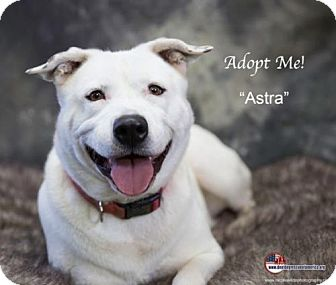 Labrador Retriever/Australian Cattle Dog Mix Dog for adoption in Acton, California - Astra