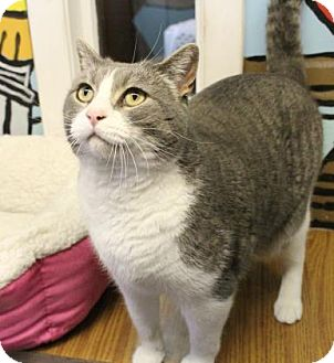 Domestic Shorthair Cat for adoption in West Des Moines, Iowa - Stetson