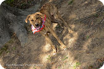 Great Dane/Hound (Unknown Type) Mix Dog for adoption in Muldrow, Oklahoma - Maia