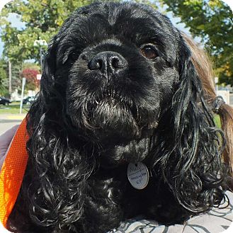 Cocker Spaniel Mix Dog for adoption in Minneapolis, Minnesota - Macy