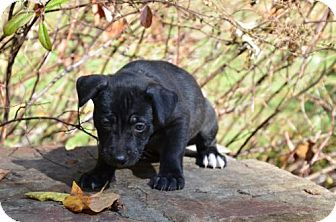 German Shepherd Dog/Labrador Retriever Mix Puppy for adoption in Baltimore, Maryland - Trinidad