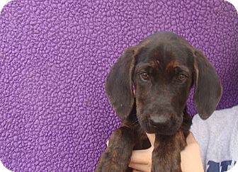 Black and Tan Coonhound Mix Puppy for adoption in Oviedo, Florida - Xanadu