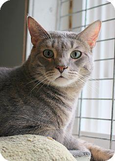 Domestic Shorthair Cat for adoption in Carlisle, Pennsylvania - Troutman