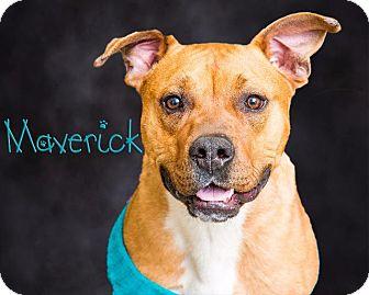 Pit Bull Terrier/Labrador Retriever Mix Dog for adoption in Somerset, Pennsylvania - Maverick