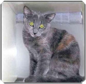 Domestic Shorthair Cat for adoption in San Clemente, California - MIA