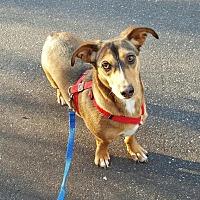 Adopt A Pet :: Harper - Morganton, NC