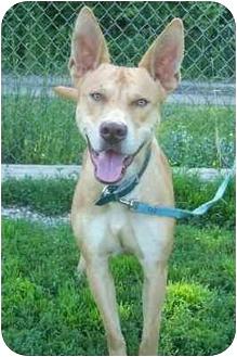 Pharaoh Hound Mix Dog for adoption in Oberlin, Ohio - Sammy