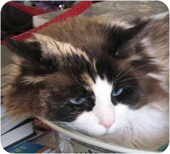 Ragdoll Cat for adoption in Davis, California - Katherine
