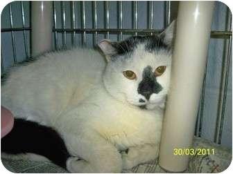 Domestic Shorthair Cat for adoption in Shelbyville, Kentucky - Turbo