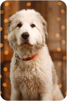 Great Pyrenees Dog for adoption in Portland, Oregon - Pepper