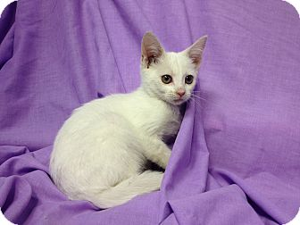 Domestic Shorthair Kitten for adoption in Orlando, Florida - Tiffany