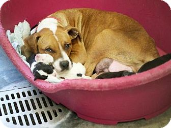 Pit Bull Terrier Mix Dog for adoption in Seattle, Washington - Rebecca & pups - URGENT!!