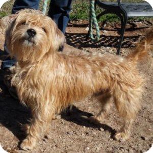 Norfolk Terrier Mix Dog for adoption in Athens, Georgia - Hogan