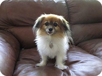 Papillon Dog for adoption in San Diego County, California - Georgia