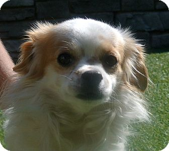 Pekingese/Chihuahua Mix Dog for adoption in white settlment, Texas - Scrappy