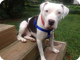 American Bulldog Mix Dog for adoption in WARREN, Ohio - Frank (courtesy post)