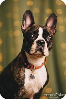 French Bulldog/Boston Terrier Mix Dog for adoption in Portland, Oregon - Flynn