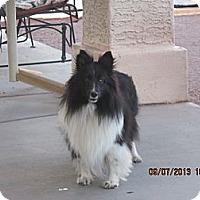 Adopt A Pet :: Holly - apache junction, AZ