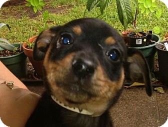 Chihuahua Mix Puppy for adoption in Houston, Texas - GRETEL