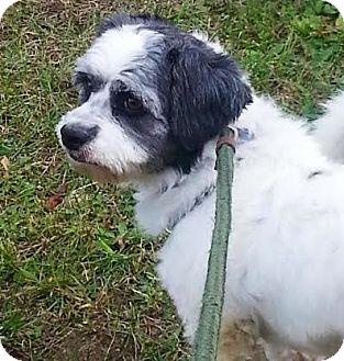 Shih Tzu Mix Dog for adoption in Rockaway, New Jersey - Sushi