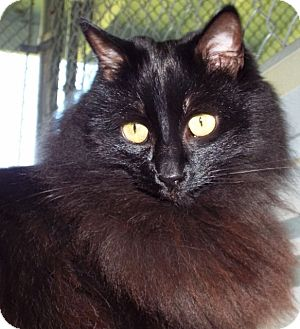 Domestic Mediumhair Cat for adoption in Grants Pass, Oregon - Juliet