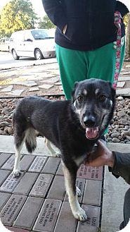 German Shepherd Dog/Husky Mix Dog for adoption in Von Ormy, Texas - LEA