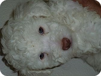 Poodle (Miniature)/Schnauzer (Miniature) Mix Puppy for adoption in Beverly Hills, California - Ballou McQueen