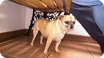 Pug/Chihuahua Mix Dog for adoption in Odessa, Texas - Pugsley