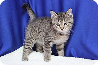 Domestic Shorthair Kitten for adoption in Midland, Michigan - Badger