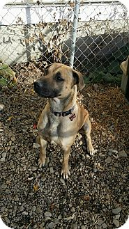 Black Mouth Cur Mix Dog for adoption in Salamanca, New York - Marv