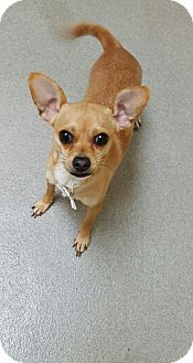 Chihuahua Mix Dog for adoption in Garwood, New Jersey - Cutie