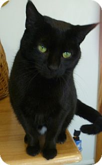 Domestic Shorthair Cat for adoption in Hamburg, New York - Azalea Ann