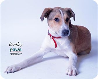 Collie Mix Dog for adoption in Belle Chasse, Louisiana - Bentley