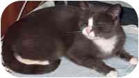 Domestic Shorthair Cat for adoption in Hamburg, New York - Jessie