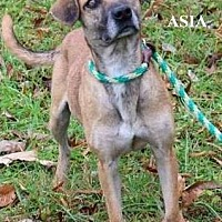 Shepherd (Unknown Type) Mix Dog for adoption in Baxter, Tennessee - Asia