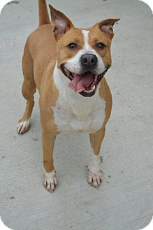 American Pit Bull Terrier/American Staffordshire Terrier Mix Dog for adoption in Prince George, Virginia - Marci